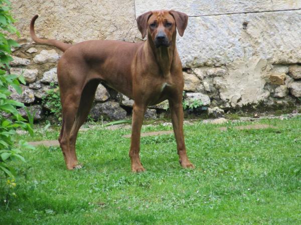 NADJI COTÉ 4 (RECOMANDÉ) est une chienne très intelligente et joueuse. Elle est très belle avec une couleur fauve orangée. Une tête très expressive avec un regard intelligent. De très bons résultats en expositions nationales et internationales.Radios hanches A, épaules OCD 0, coudes ED 0. Idemne de dysplasie.<br /> LOCUS D : DD<br /> MYÉLOPATHIE DÉGÉNÉRATIVE : DM ( NON PORTEUSE )